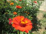Flores Cor-de-Laranja e Vermelhas