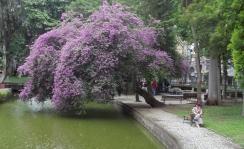 """passeio público outra postagem """"Ctba Florida - Leste a Oeste"""" rio belém lago água flor Z/C ctba árvore violeta rosa lilás centrão"""